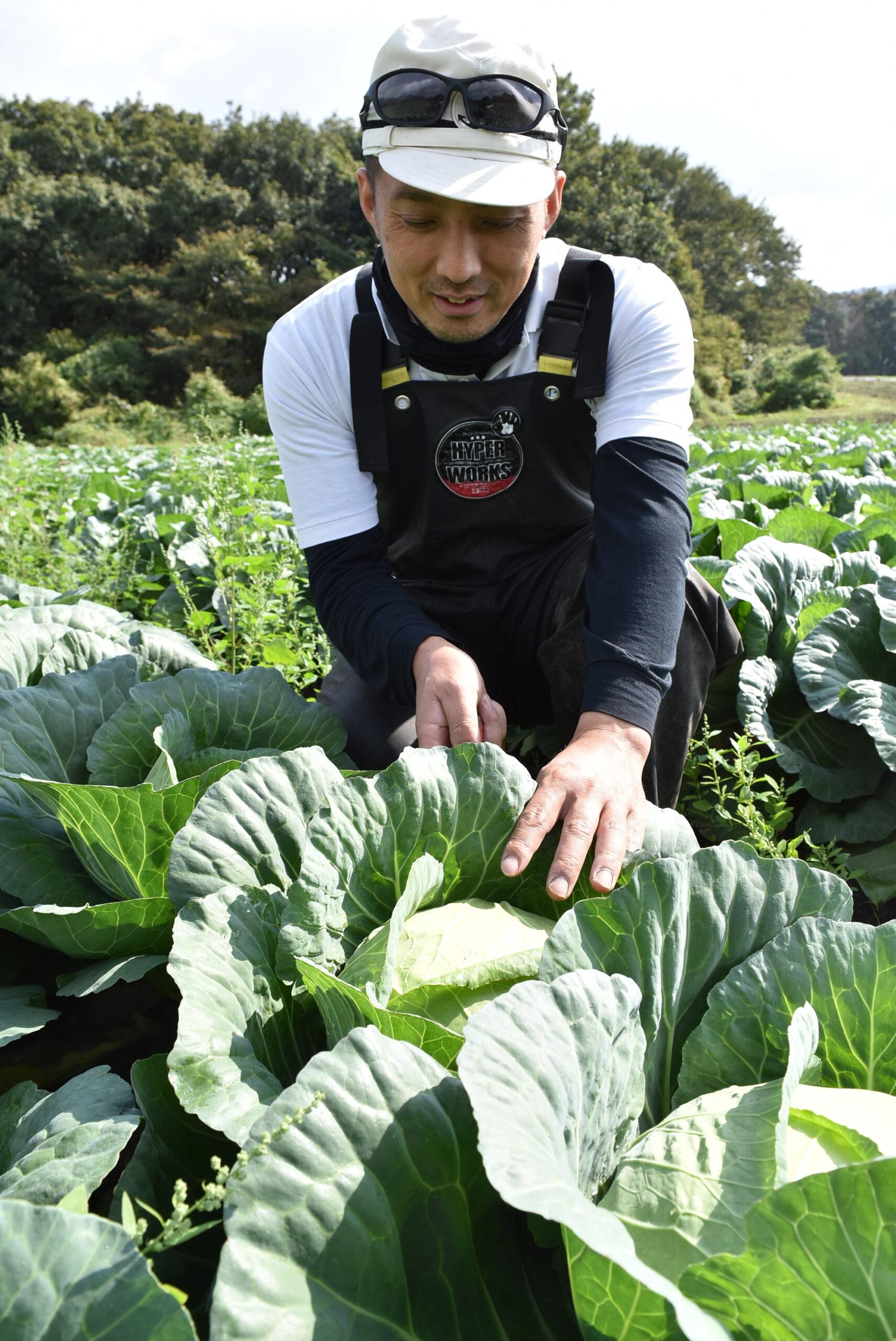キャベツを収穫する生産者